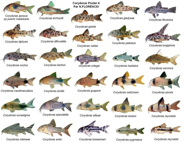Ooh, Corydoras species chart.                              …