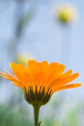 Calendula for severe eczema