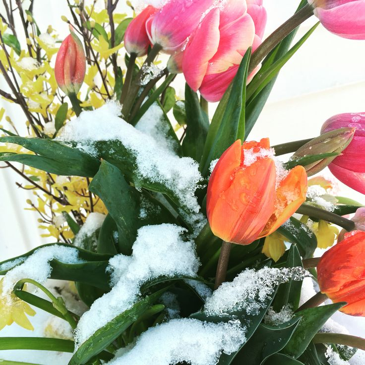 50 best flowers in snow images on pinterest snow winter and blossoms my spring flowers in the snow mightylinksfo