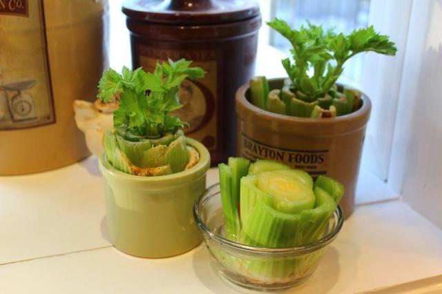 Regrow Celery Regrow Celery Celery Plant Vegetable 400 x 300