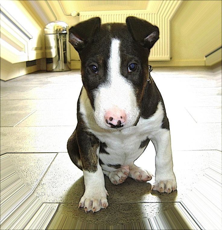 bull terrier puppies - Google Search