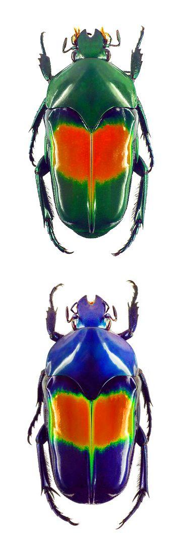 Ischiopsopha jamesi; Ischiopsopha jamesi coerulea