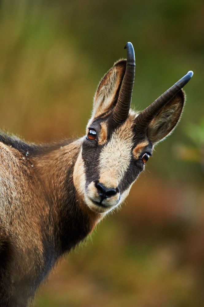 """""""Soft eyes!"""" - photo by Stefan Rosengarten, via 500px;  This is a Chamois, a member of the goat-antelope genus native to mountains in Europe. """"Both males and females have short, straightish horns which are hooked backwards near the tip, the horn of the male being thicker. ... Distinct characteristics are white contrasting marks on the sides of the head with pronounced black stripes below the eyes...""""  - Wikipedia"""