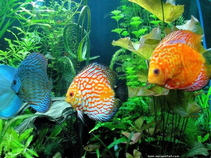 Définition illustrée de l'aquarium sur le portail d'aquariophilie avec de beaux discus