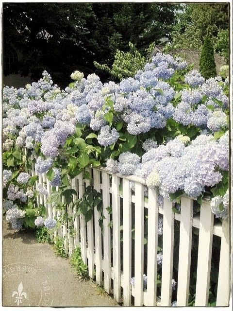 white picket fence and hydrangeas.