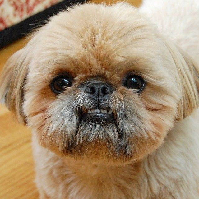 """Shih Tzu... Dougie From your friends at phoenix dog in home dog training""""k9katelynn"""" see more about Scottsdale dog training at k9katelynn.com! Pinterest with over 19,800 followers! Google plus with over 133,000  views! You tube with over 400 videos and 50,000 views!! Serving the valley for 11 plus years"""