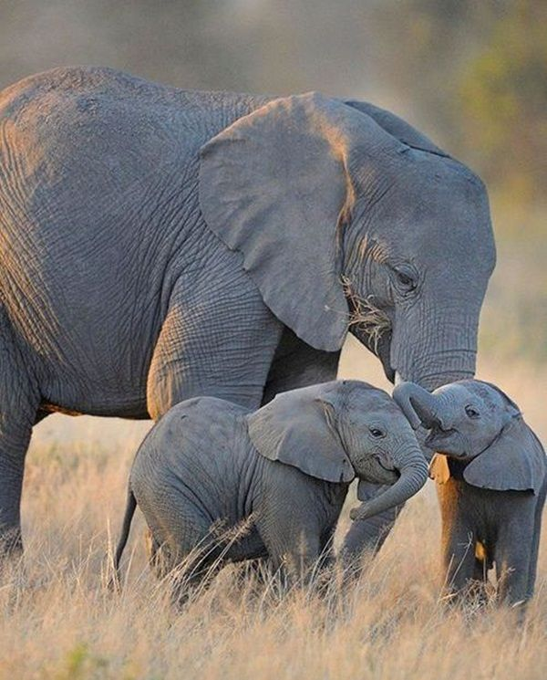 Facts about Elephants for Kids16