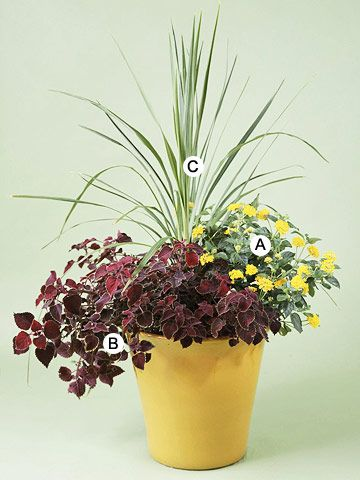 """Recipes for Beautiful Container Gardens.......  Create Drama in a Pot        This simple design demonstrates classic proportions with """"thriller plant"""" (cordyline), """"filler plant"""" (lantana), and """"spiller plant"""" (trailing coleus).        A. Lantana 'New Gold' -- 1      B. Coleus (Solenostemon 'Stained Glassworks Trailing Plum') -- 2      C. Cordyline australis -- 1"""
