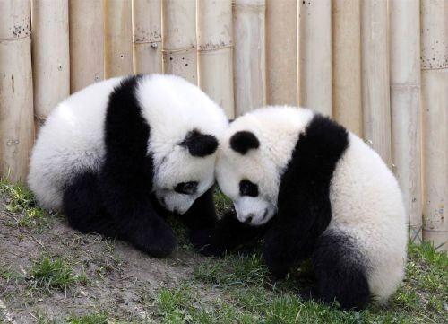 Cute Panda Bears | Cute Panda Bear Photo Gallery : theBERRY