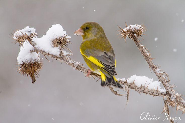 Oiseaux du jardin - Verdier d'Europe -