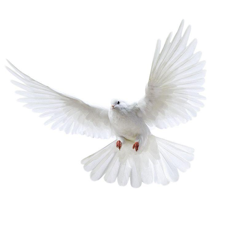 Imagen Png Paloma Blanca Volando Animals Aves Volando Paloma Blanca Paloma Volando