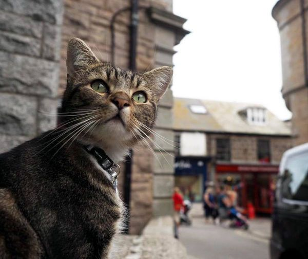 Cats walking the cobbled streets of Cornwall, England. See the complete photo series - http://www.traveling-cats.com/2016/09/cats-from-cornwall-england.html
