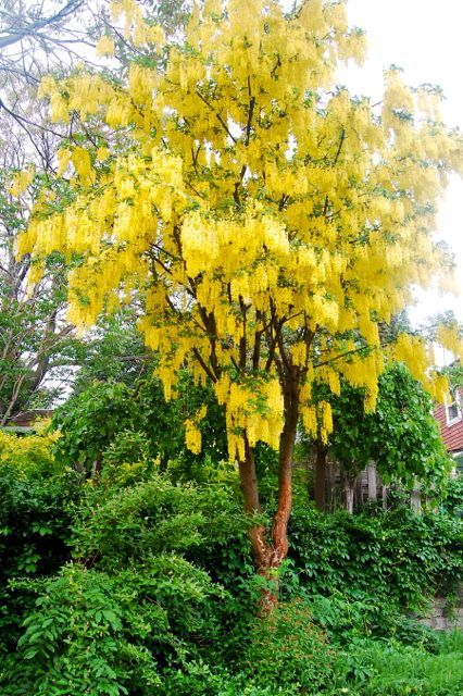 Laburnum anagyroides – Golden Chain tree