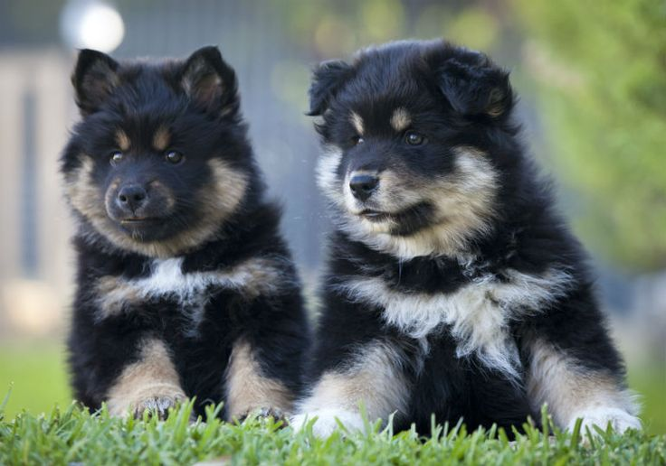 Already popular in his native Finland, the Finnish Lapphund makes a wonderful family companion. Here are 7 reasons to get to know this Northern herding breed.