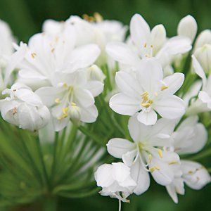 Agapanthus orientalis Agapanthus Snowball is a compact dwarf agapanthus with a profusion of pure white flowers lasting over a long period. It is drought resistant, making it the perfect plant in times of drought and water restrictions. Prefers a full sun to light shade position and needs protection from severe frosts when young. Snowball is …
