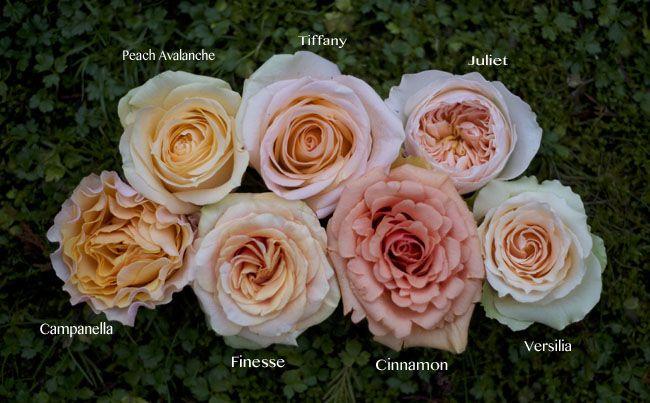 Flirty Fleurs Peach Rose Color Study, Versilia, Campanella, Cinnamon, Juliet, Tiffany, Finesse, Peach Avalanche