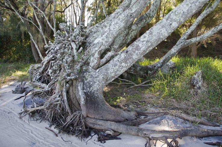 Lemon Tree Passage. An uprooted tree along the boardwalk #portstephens #lemontreepassage