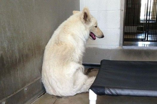 Due out 4/24  Beautiful shy white German Shepard is in need of a rescue.  Is there anyone who can help her out?