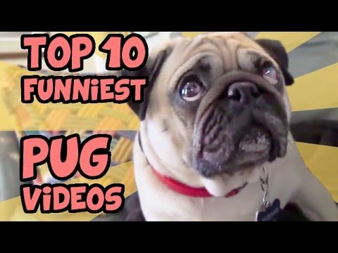 TOP 10 FUNNIEST PUG VIDEOS OF ALL TIME - YouTube