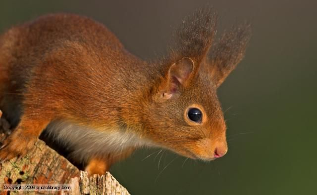 Red squirrel       Instantly recognisable by their red fur, ear tufts and long, fluffy tails, red squirrels were once the only squirrel species in Europe