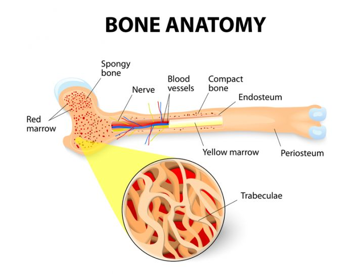 Bone marrow is the spongy tissue inside some of the bones in the body, including the hip and thigh bones. Bone marrow contains immature cells, called stem cells