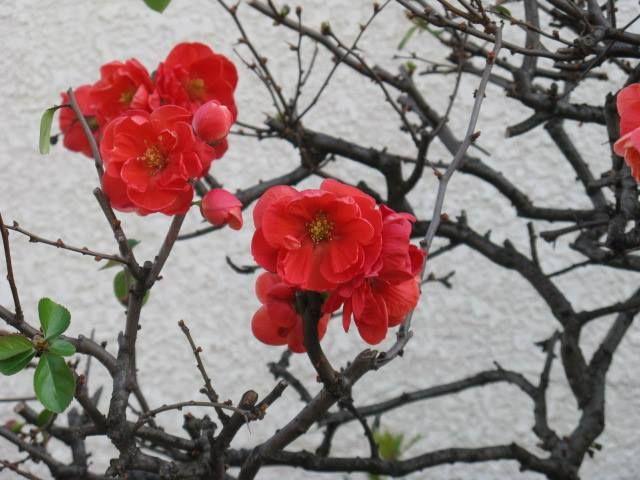 1月19日の誕生日の木は「カンボケ(寒木瓜)」です。 バラ科ボケ属の落葉低木。原産地はボケ(木瓜)と同じく中国。日本へはボケと同じく平安時代には渡来していたといわれています。主に園芸用の花木として植栽され、多くの園芸品種があります。 名前の由来は、花が11月から1月に咲くことからですが、春になるとさらに咲く花が増え、葉も出揃います。鮮やかな赤い花色から、ヒボケ(緋木瓜)という別名を持ちます。緋色とは日本の伝統色名で「炎のような色」という意味。英語ではスカーレット(scarlet)にあたります。