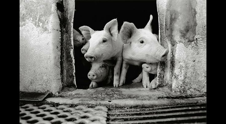 3 | Heartwarming Photos Of A Farmer And His Beloved Pigs | Co.Design | business + design