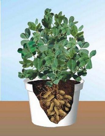 Come coltivare le arachidi in vaso
