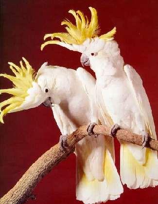 australian a white cockatoos | SULPHUR CRESTED COCKATOOS - Cockatoos Of Australia - Pet Birds, Exotic ...