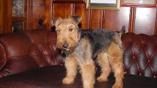 Welsh Terrier Cares, a Welsh Terrier rescue program. Welsh Terriers are the best dogs on the planet.