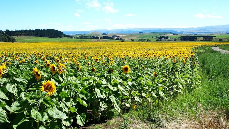 Fields of Sunflowers Oamaru NZ