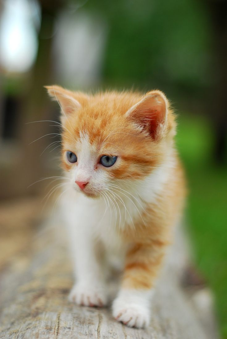 Top Ten Cute orange and White Kitten