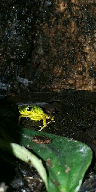 17 Best images about Frogs/Toads on Pinterest | White ... Poisonous Green Frogs In Texas