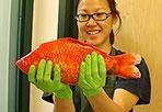 Il pesciolino rosso da 2 kg - Un pesce rosso gigante è stato trovato nelle acque del Lago Tahoe, in Sierra Nevada. Pesa quasi due kg ed è lungo 50 cm. Quello che potrebbe essere l'equivalente di un mostro per la specie, è stato pescato da un gruppo di ricercatori che cercavano di ripulire il lago da alcune specie invasive, e il pesce rosso (Carassius auratus auratus) è appunto considerato di tipo invasivo. Secondo gli esperti l'esemplare in questione vi potrebbe essere stato gettato da…