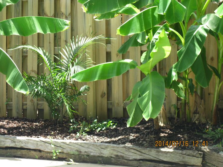 Banana Trees Around Our Pool Pool Area Landscaping Pool