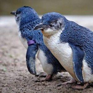Blue Penguins in Oamaru, New Zealand