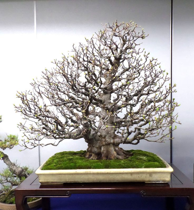 1000 images about bonsai on pinterest pine bonsai for Most expensive bonsai tree ever