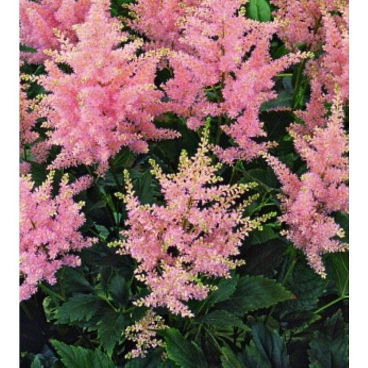 Pluimspirea (Astilbe japonica 'Europa') Bloeitijd juni t/m juli