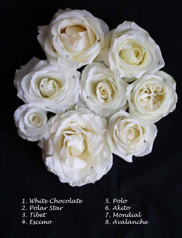 Flirty Fleurs White Rose Study -  Mondial, Avalanche, Akito, Polo, Escimo, Tibet, Polar Star, White Chocolate