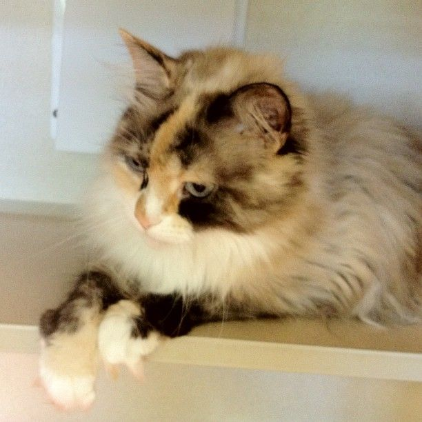Adopted Romance 4 Years Front Declawed Adopt Cat