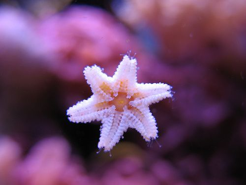 how to get rid of asterina starfish
