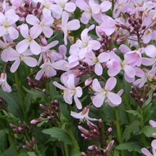 cardamine douglassii southern lady part sun to light shade