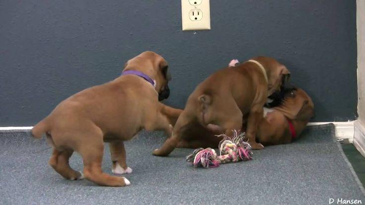 Симпатичные #щенки боксера играют! Cute 4 Week Old Boxer #Puppies Playing