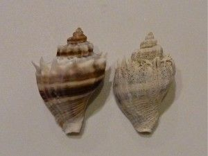 How To Restore Color To Your Seashells Tutorial usig Muriatic Solution.  One on left is restored n one on right isn't!  VIDEO n INSTRUCTIONS