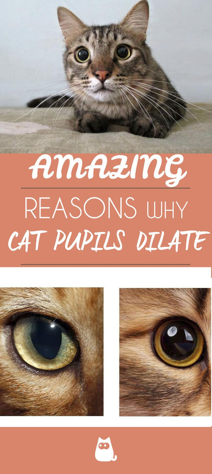 All Reasons Why Cat Pupils Dilate Cat Pupils Cute Funny Animals Cat Eye Colors