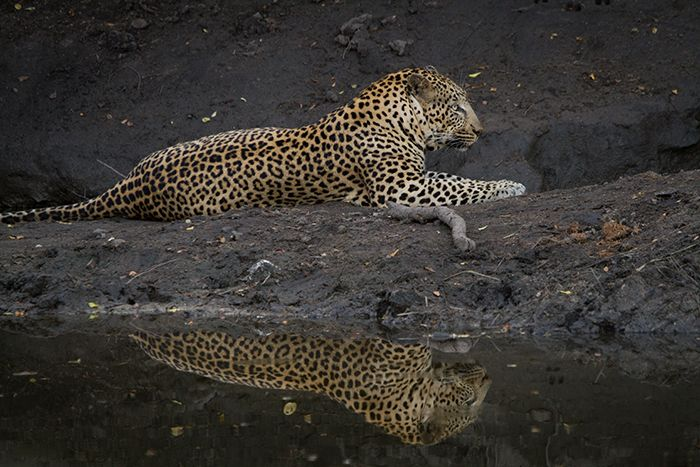 A reflection of the short-tailed (Ehlathini male) whilst he cools off in a shady spot. Photograph by Callum Gowar