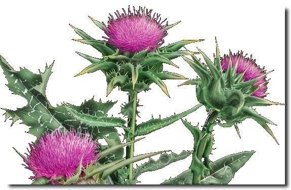 Máriatövis gyógyhatása | Herb Caps | kapszulába zárt egészség