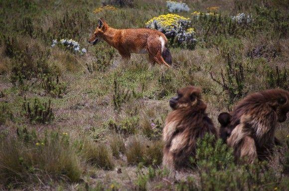 弱肉強食が繰り広げられている野生において、肉食獣と獲物に平和な交流が起きることは滅多にない。ところが、エチオピアのグアッサ高原では、草食動物であるオナガザル科のゲラダヒヒがオオカミを飼い慣らしているふしがあるという。 野犬やサーバルがゲラダヒヒを襲う