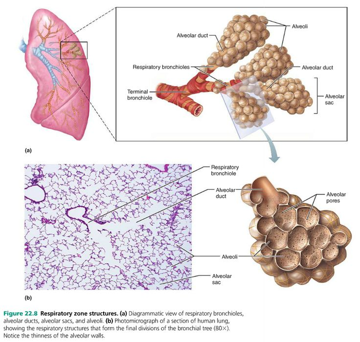 15 Best Lungs Images On Pinterest Lunges Lungs And Ap Biology