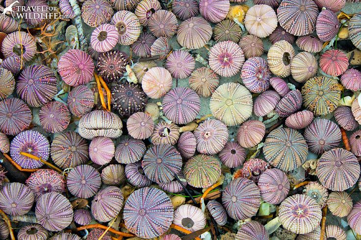 Attention shell collectors! Quick tips on how to tell if a creature on the beach is alive or dead, including sand dollars, starfish, urchins, and shells.